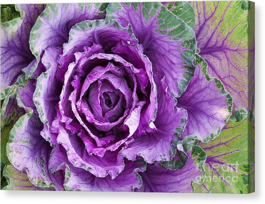 Cabbage Canvas Print - Ornamental Cabbage by Tim Gainey