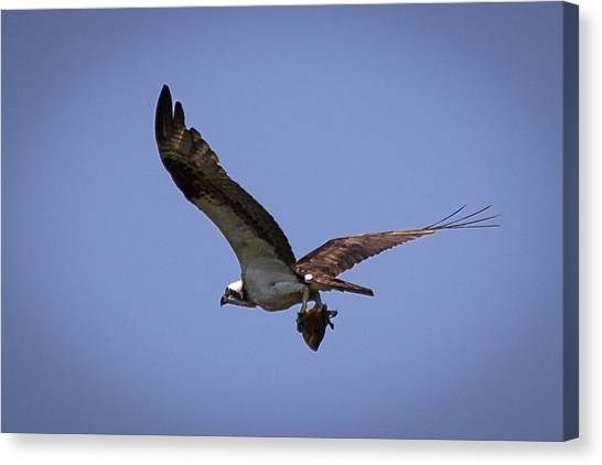 Osprey Carrying Fish  Canvas Print
