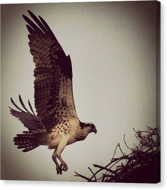 Osprey Canvas Print - Osprey Coming In For A Landing by Lisa Thomas