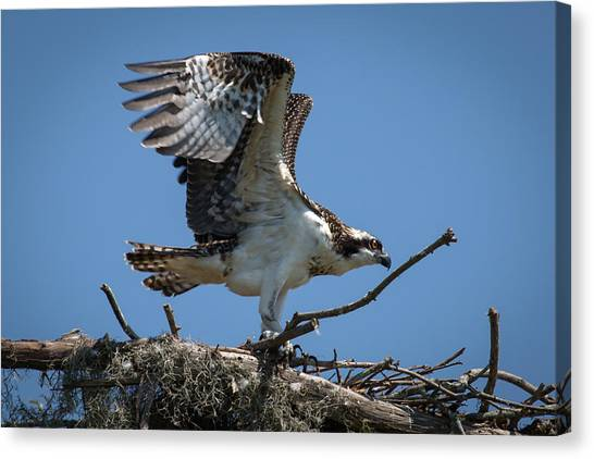 Osprey Departing Nest Canvas Print