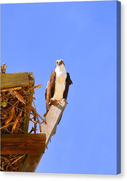 Osprey Canvas Print - Osprey by Doug Grey