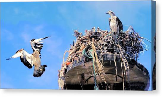 Canvas Print featuring the photograph Osprey Family by David Rich