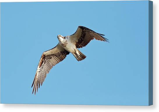 Eagle In Flight Canvas Print - Osprey In Flight by Bob Gibbons