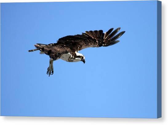 Osprey In Flight Canvas Print by Darrin Aldridge
