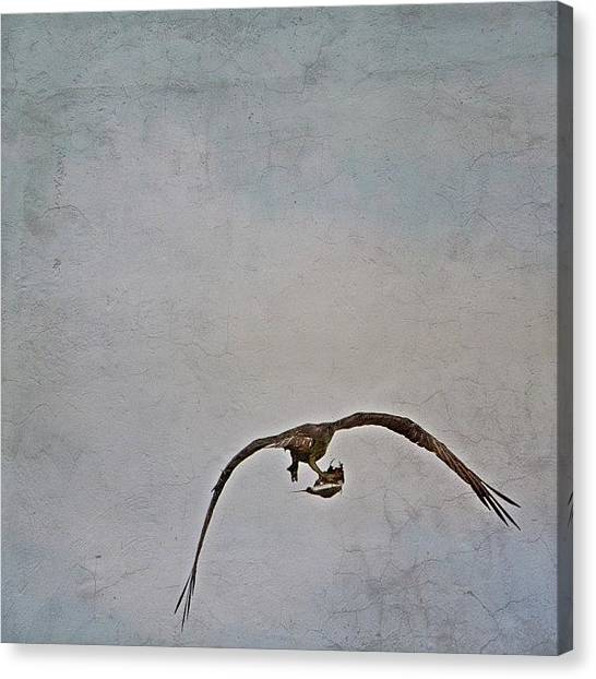 Osprey Canvas Print - Osprey In Flight With Take Out by Penni D'Aulerio