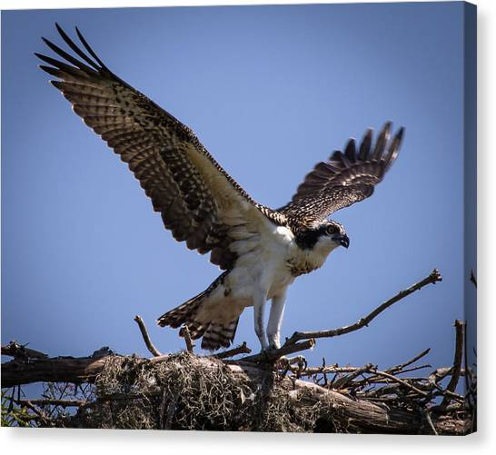 Osprey In Nest Ready To Fly Canvas Print