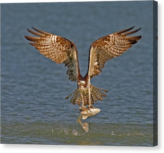 Osprey Morning Catch Canvas Print