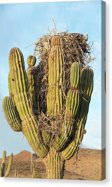 Osprey Nest In A Cactus Canvas Print by Christopher Swann