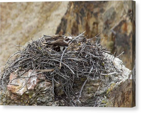 Osprey Nest Canvas Print by Jill Bell