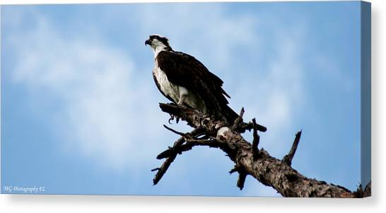 Osprey On Perch Canvas Print