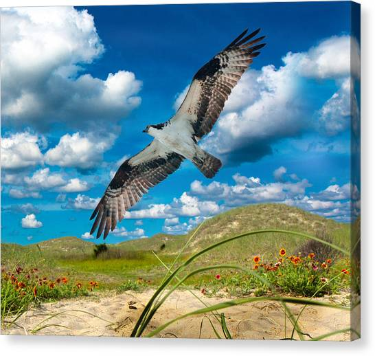 Osprey Canvas Print - Osprey On Shackleford Banks by Betsy Knapp