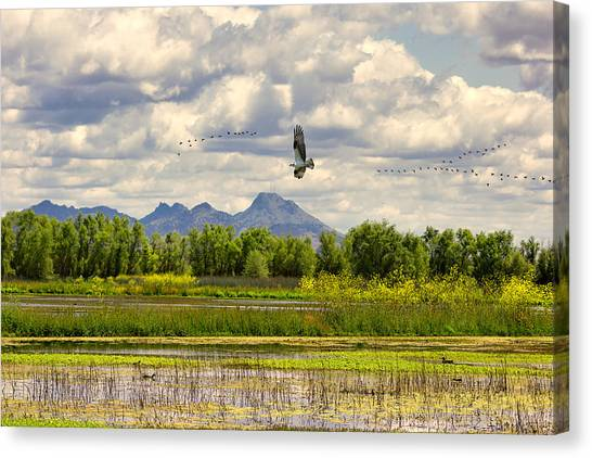 Osprey Over The Wetlands Canvas Print