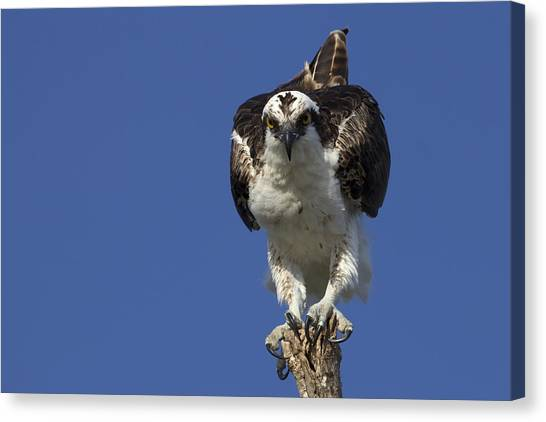Osprey Photo Canvas Print