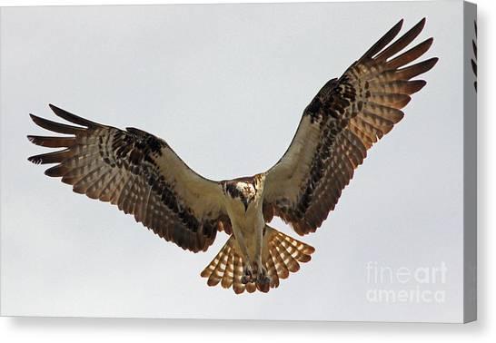Osprey Spread Canvas Print