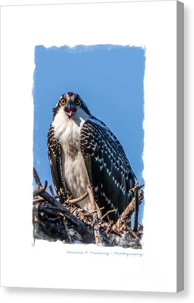 Osprey Canvas Print - Osprey Surprise Party Card by Edward Fielding