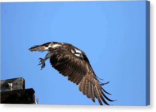 Osprey Wings Forward Canvas Print by Darrin Aldridge