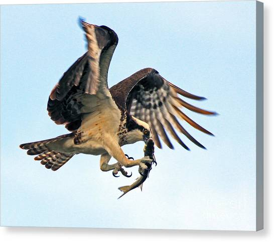 Osprey With Fish 1-6-15 Canvas Print