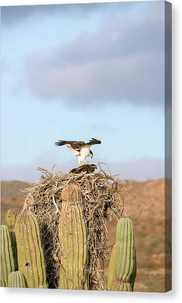 Baja California Canvas Print - Ospreys Nesting In A Cactus by Christopher Swann