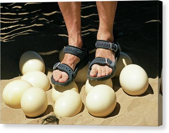 Ostriches Canvas Print - Ostrich Eggs by Philippe Psaila/science Photo Library