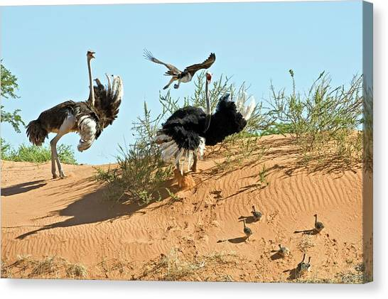 Ostriches Canvas Print - Ostrich Family And Eagle by Tony Camacho/science Photo Library