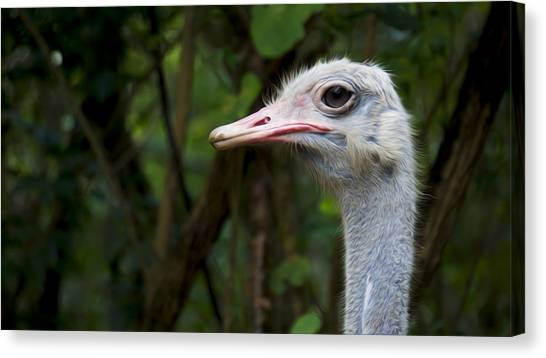 Emus Canvas Print - Ostrich Head by Aged Pixel
