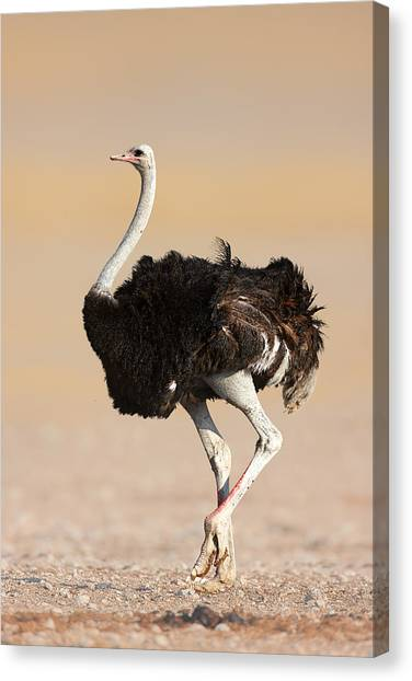Large Birds Canvas Print - Ostrich by Johan Swanepoel