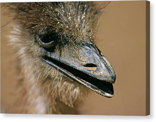 Ostriches Canvas Print - Ostrich by Philippe Psaila/science Photo Library