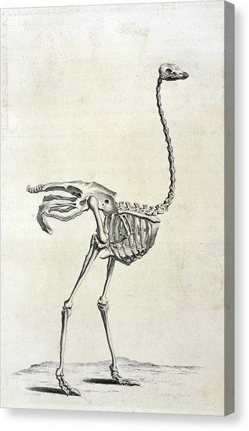 Ostriches Canvas Print - Ostrich Skeleton by British Library