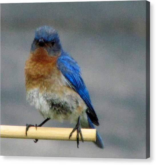 Our Own Mad Bluebird Canvas Print