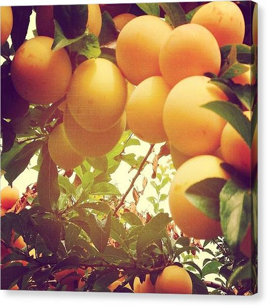 Yellow Canvas Print - Our Plum Tree Is Loaded This Year...any by Blenda Studio