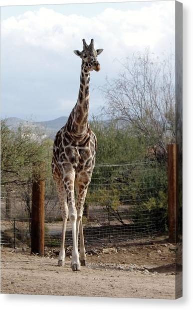 Out Of Africa  Giraffe 1 Canvas Print