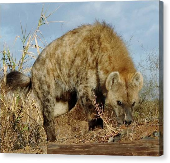 Out Of Africa Hyena 1 Canvas Print