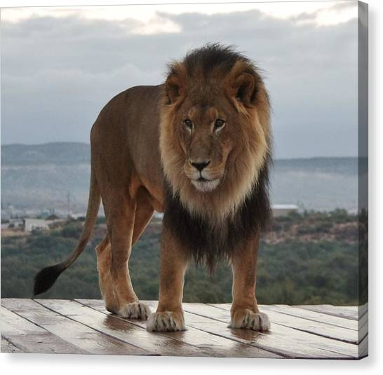 Out Of Africa Lion 3 Canvas Print
