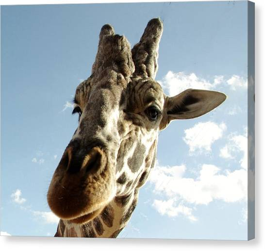 Out Of Africa  Reticulated Giraffe Canvas Print