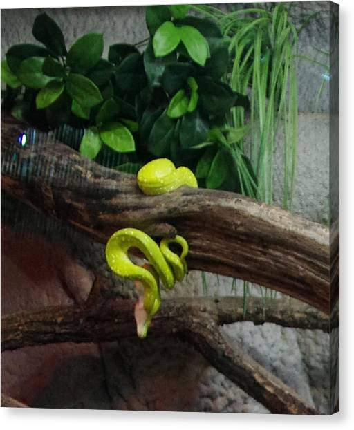 Out Of Africa Tree Snake Canvas Print