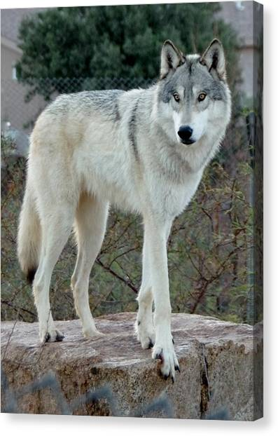 Out Of Africa Wolf  Canvas Print