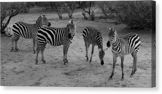 Out Of Africa  Zebras Canvas Print