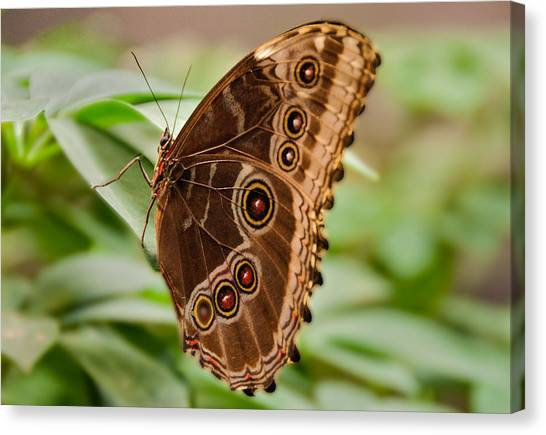 Owl Butterfly Canvas Print by Mae Wertz
