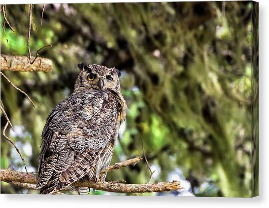 Great Cypress Canvas Print - Owl In The Pines by Kathleen Bishop