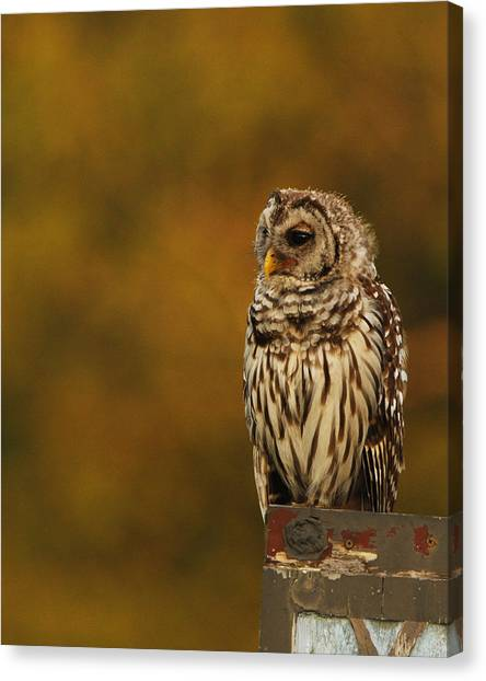 Owl On A Fence Canvas Print