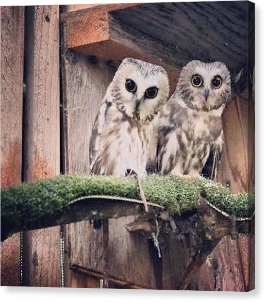 Owls Canvas Print - #owls #raptorcenter #eugene #oregon by Julia Goldberg