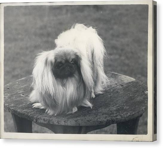 Owner- Refuses £10,500 Offer For Pekinese Canvas Print by Retro Images Archive