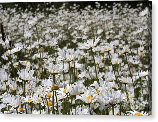 Ox Eye Daisies Canvas Print