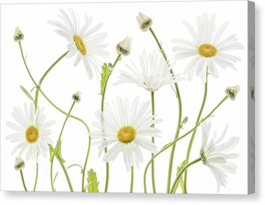 Summer Flowers Canvas Print - Ox Eye Daisies by Mandy Disher