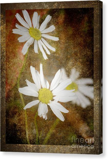 Ox Eye Dasies Canvas Print