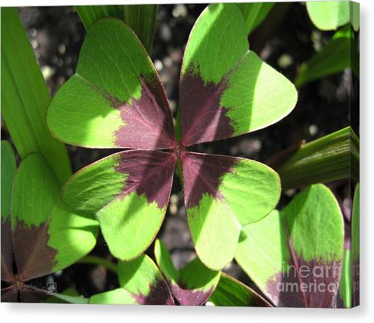 Oxalis Deppei Named Iron Cross Canvas Print