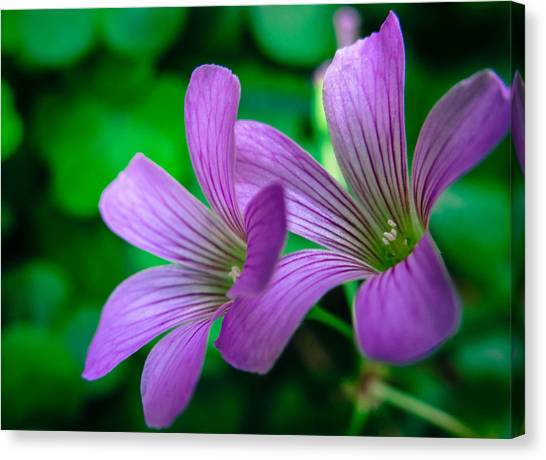 Oxalis II Canvas Print by Stacy Michelle Smith