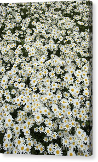 English Bull Dogs Canvas Print - Oxeye Daises by Tim Gainey