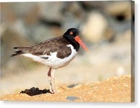Oyster Catcher 6-4 Canvas Print by Diane Rada