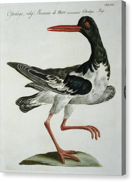 Oysters Canvas Print - Oyster Catcher by Italian School